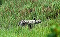 One-horned at Kaziranga National Park.jpg