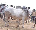 Ongole Bull Competitions Prakasam District.jpg