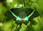 Open wing position of Papilio crino, Fabricius,1793 – Common Banded Peacock WLB.jpg