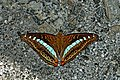 Open wing position of Sumalia daraxa Doubleday, 1848 – Green Commodore WLB DSC 1105.jpg
