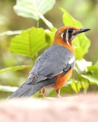 Orange-headed Thrush Geokichla citrina by Dr. Raju Kasambe DSCN5917 (3).jpg