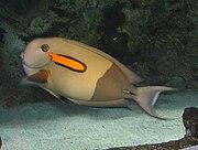 OrangeSpot Surgeonfish 2