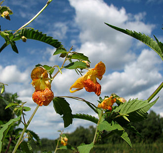 Impatiens capensis - Flowers and leaves