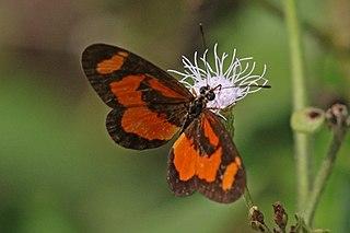 <i>Acraea bonasia</i> Species of butterfly