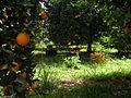 Oranges (10).JPG
