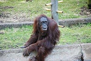 Dudley Zoo - An orangutan