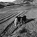 Oranie roli parą wołów - Dolina rzeki Ghorband - 003824n.jpg