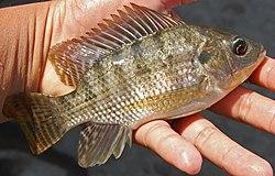 Ikan nila betina dari Lumajang, Jawa Timur