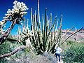 Organ-pipe-cactus.jpg