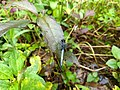 Orthetrum glaucum, blue marsh hawk. .jpg