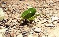 Orthoptera perto do Lago de Furnas.jpg