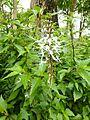 Orthosiphon at Queen Sirikit Botanic Garden - Chiang Mai 2013 2477.jpg