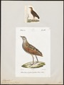 Ortygometra crex - 1700-1880 - Print - Iconographia Zoologica - Special Collections University of Amsterdam - UBA01 IZ17500085.tif