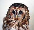 Owl (3435832332).jpg
