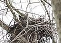 Owl on nest (33008660111).jpg