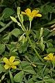 Oxalis corniculata 1DS-II 1-2004.jpg