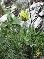 Oxytropis pilosa sl24.jpg