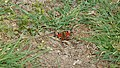 P1020492 Butterfly.jpg