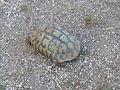P1306 Krushevo to Demir Hisar - tortoise - P1100376.JPG