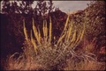 PRINCE'S PLUME - NARA - 545716.tif