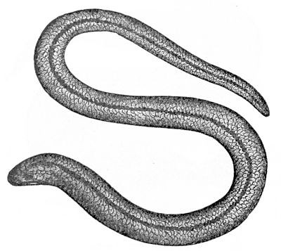 PSM V04 D286 Blind or slow worm.jpg