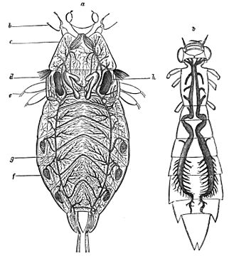 PSM V20 D472 Tracheal system of a water bug and of the larva of an aeschna.jpg