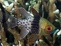 Pajama cardinalfish (Sphaeramia nematoptera) (40701335192).jpg