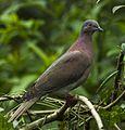 Pale-vented Pigeon -Sarapiqui - Costa Rica S4E0867 (26697349415) (cropped).jpg