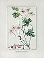 Pancrace Bessa 07 Erodium incarnatum.jpg