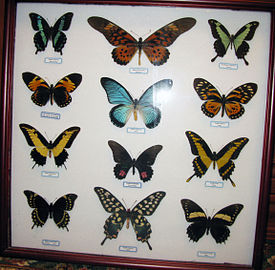 Papilio collection.jpg