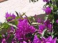Papillon croatie.jpg