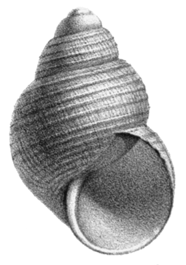 Parafossarulus manchouricus shell.png