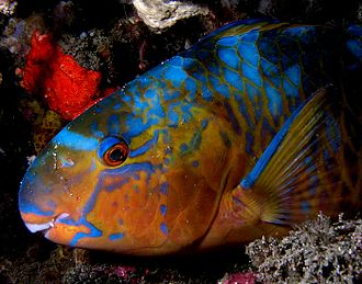 Hermaphrodite - Most species of parrotfish start life as females and later change into males.