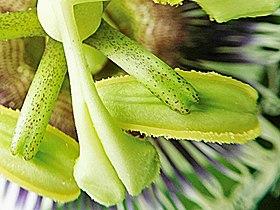 Passiflora Stigma and Stamens.jpg