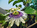 Passiflora edulis flower in Hong Kong Mar 9 2013 3rd image.JPG