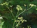 Pastinaca sativa subsp. urens inflorescence (02).jpg