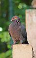 Patagioenas squamosa in Barbados a-04.jpg