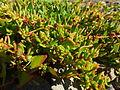 Patellifolia patellaris 0749.jpg