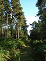 Path through pines at Buller's Hill - geograph.org.uk - 239546.jpg