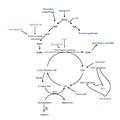 Pathway of tetrahydrofolate and antimetabolites.pdf