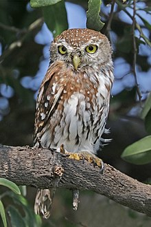 pearl spotted owlet wikipedia