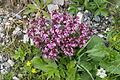 Pedicularis chamissonis var. japonica 18.jpg