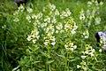 Pedicularis yezoensis 04.jpg