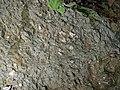Pedogenic breccia (Conemaugh Group, Upper Pennsylvanian; creek cut on the western side of Caldwell, Ohio, USA) 18.jpg