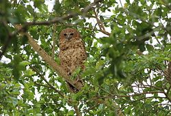 Pel's fishing owl, Scotopelia pel, at uMkhuze Game Reserve, kwaZulu-Natal, South Africa (15196440240).jpg