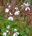 Pelargonium graveolens 6.jpg