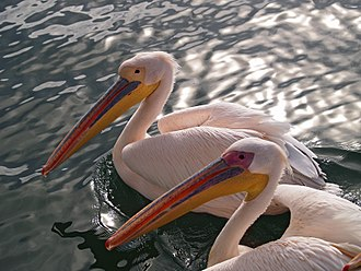 Great white pelican - A pair in breeding condition in Walvis Bay, Namibia