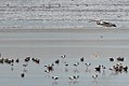 Pelican, Avocets and Ducks (23868099374).jpg