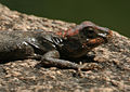 Peninsular Rock Agama (Psammophilus dorsalis) is it W2 IMG 8817.jpg