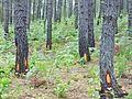 Penyadapan Getah Pinus.jpg